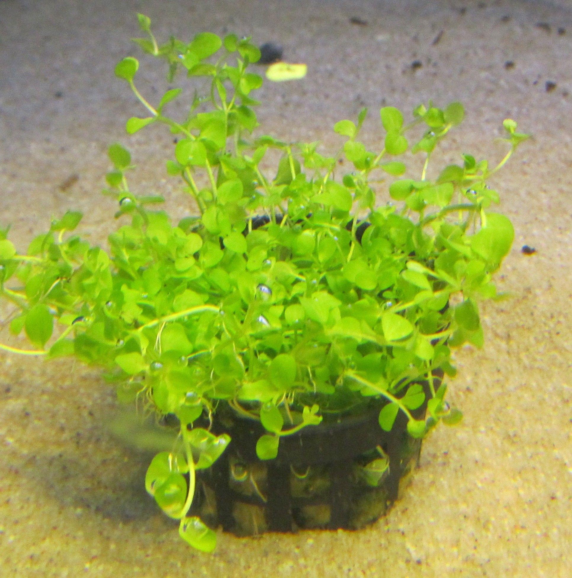 Micranthemum monte carlo.