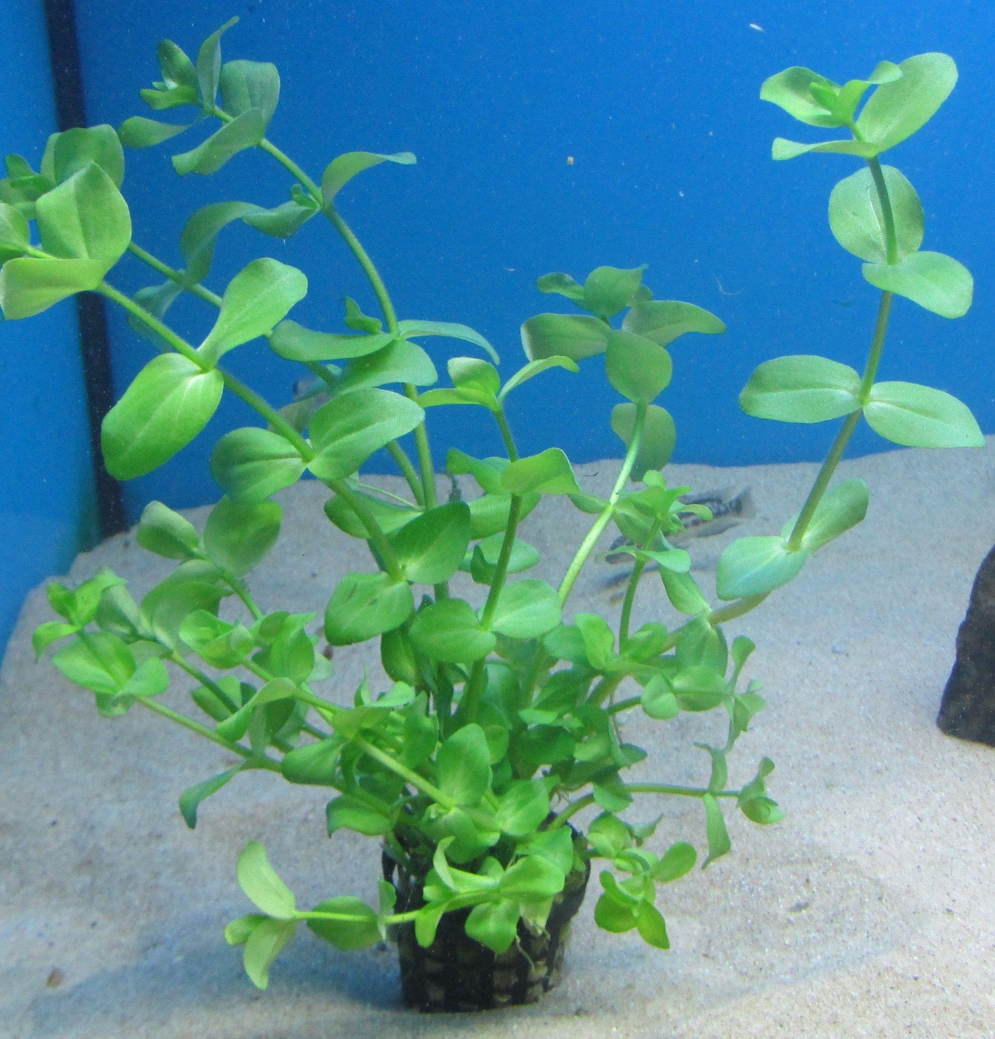 Bacopa caroliniana / amplexicaulis