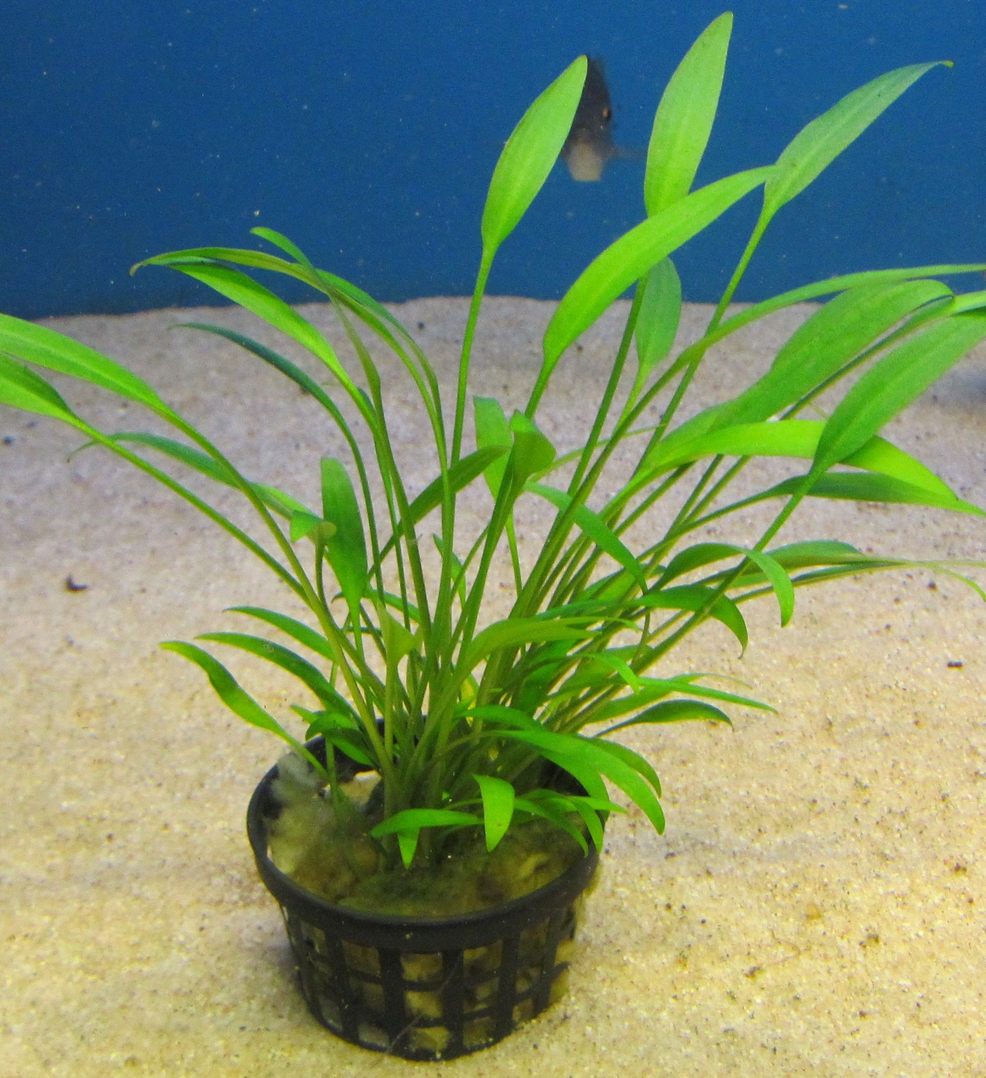 Cryptocoryne nevellii .