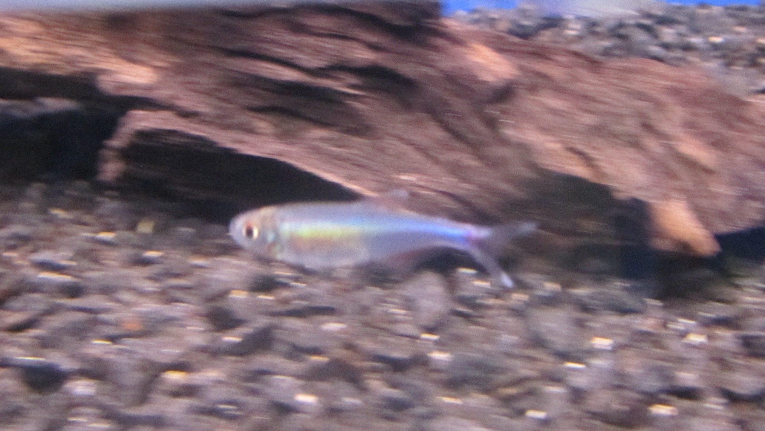 Blå Peru Tetra.