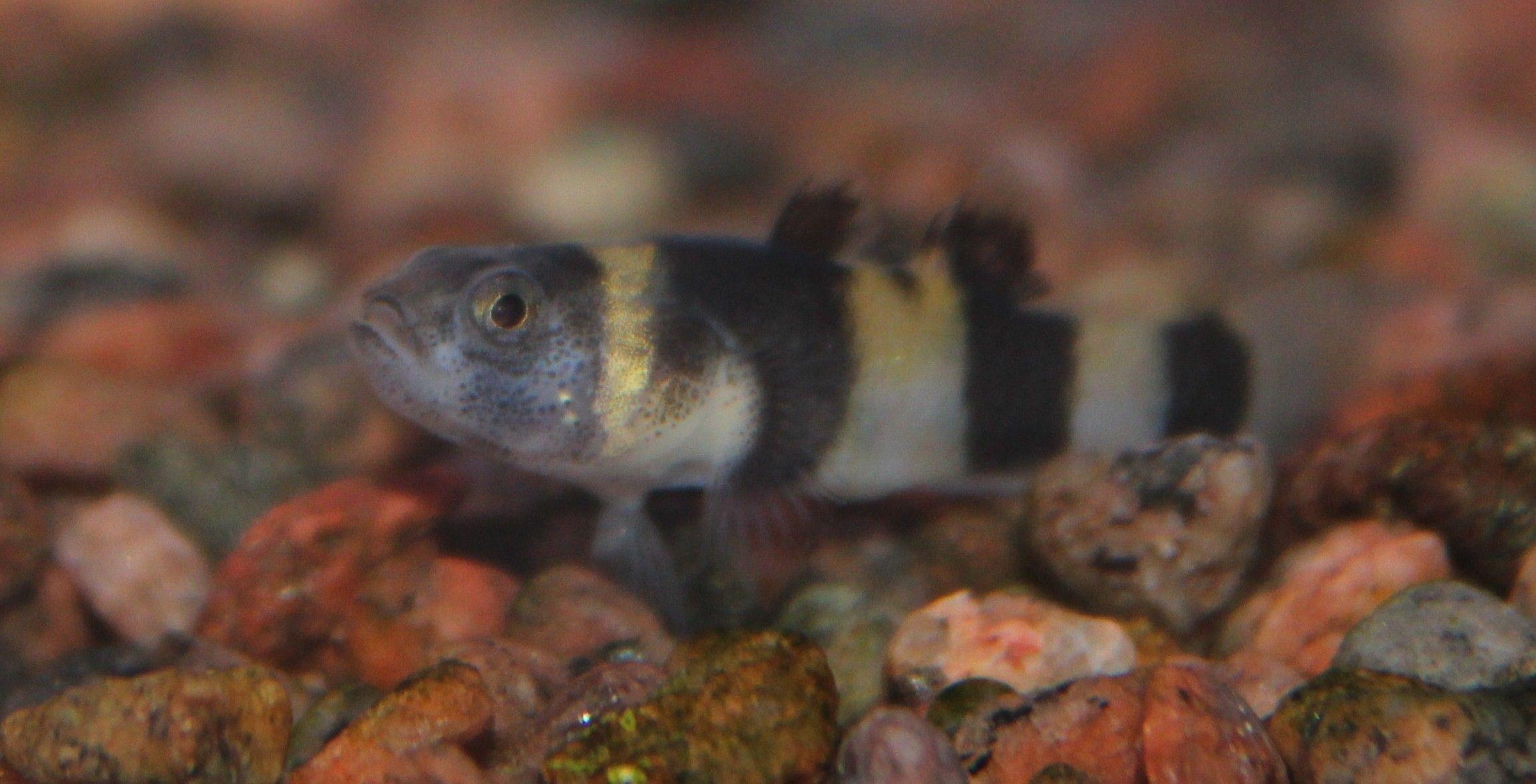Humlebi Fisk.