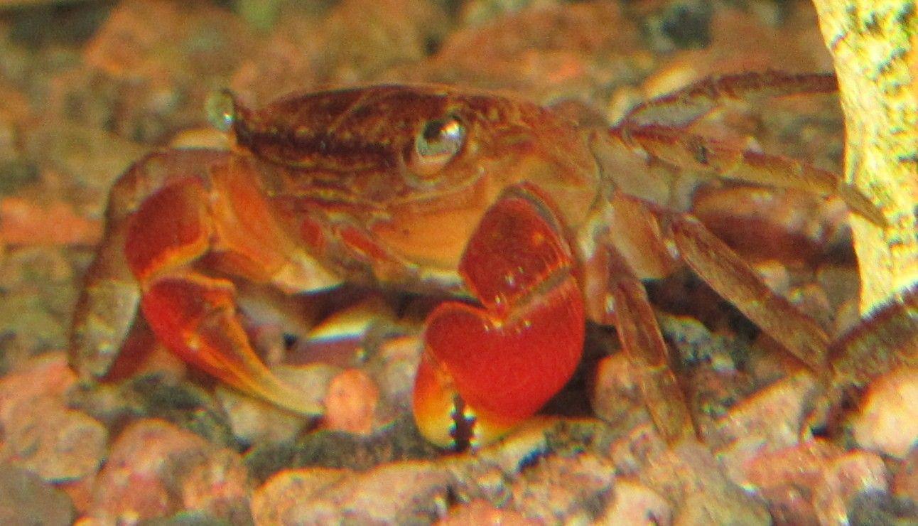Rød Ferskvands Krabbe.