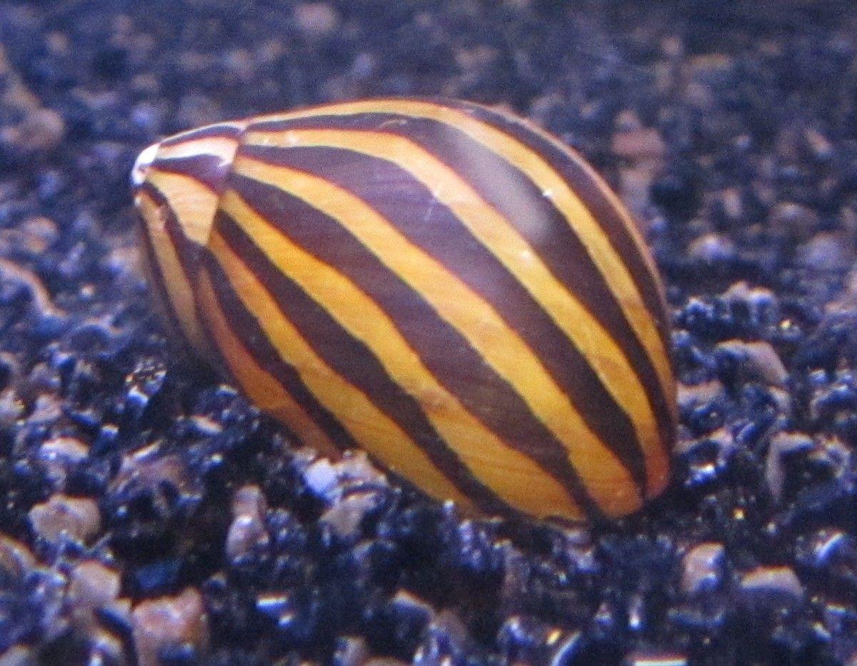 Zebra Snegl.