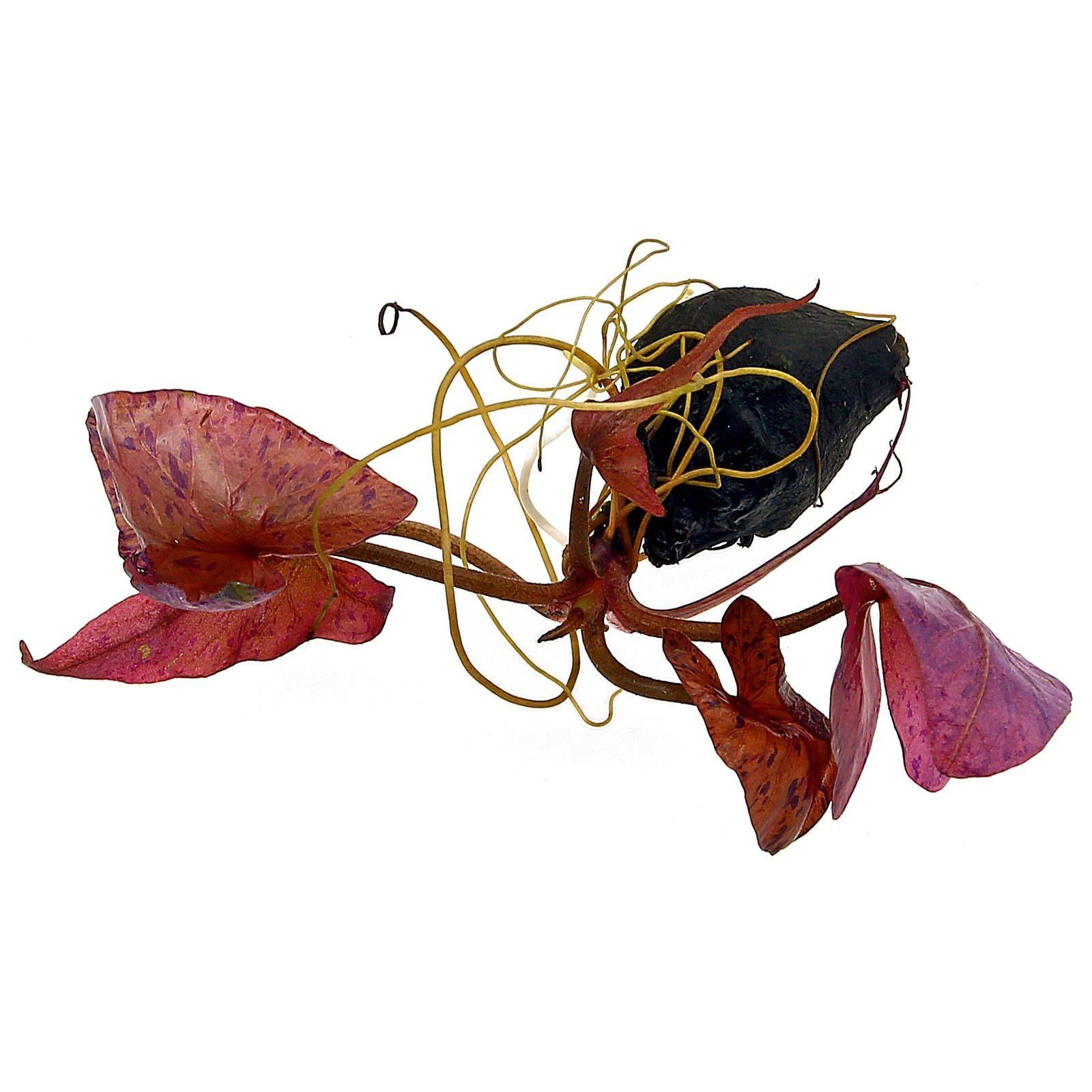 Nymphea lotus åkande