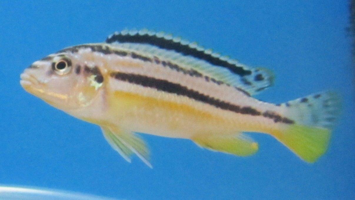 M. Auratus ( FÅ TILBAGE )