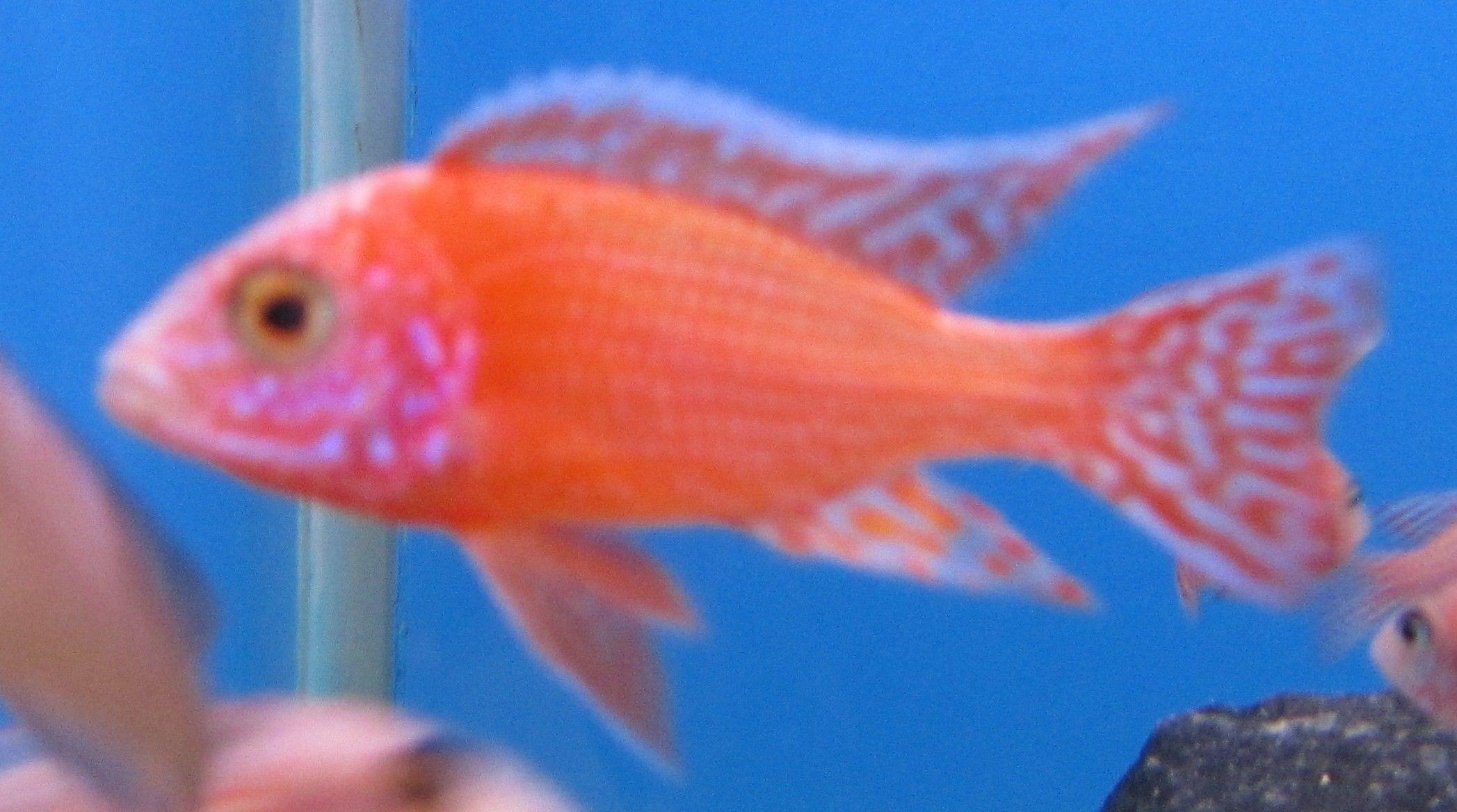 Alunocara SP. Firefish . Hanner