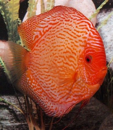 Pigeon Blood Snake Discus. 6,5 cm