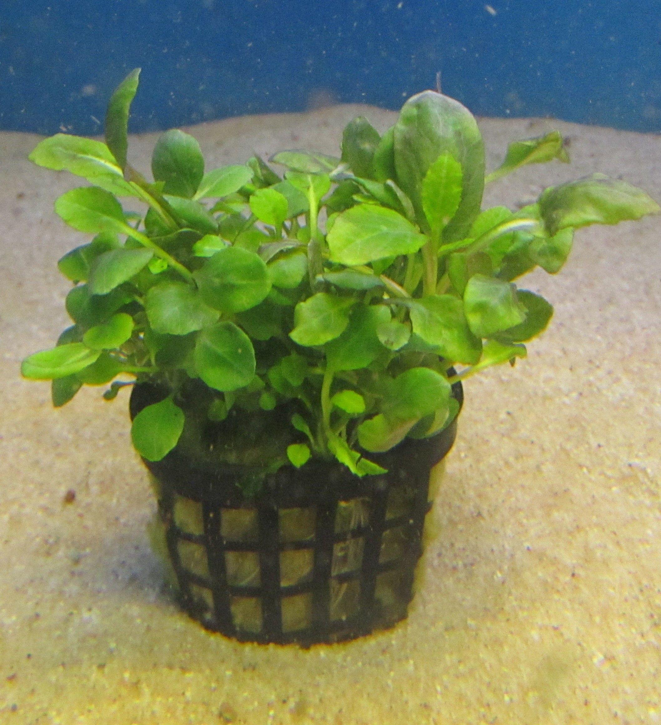 Lobelia cardinalis mini.