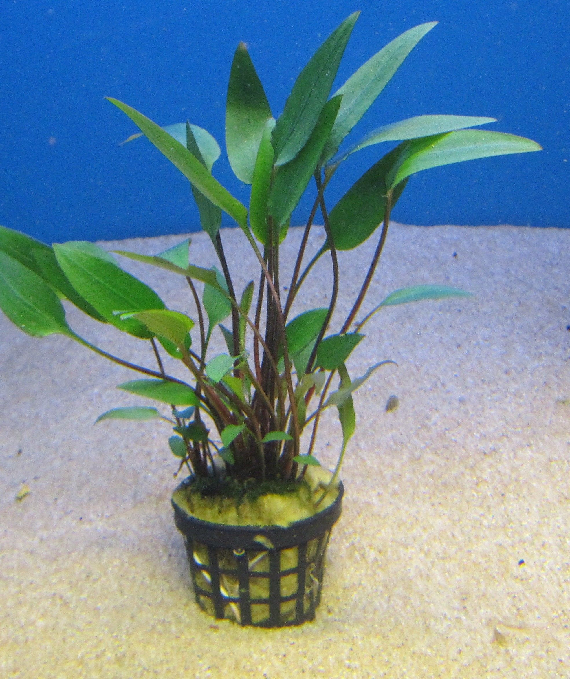 Cryptocoryne Walkeri.