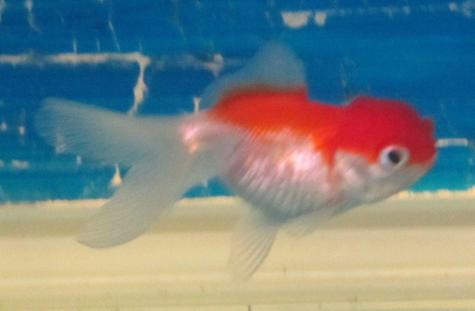 Rød / Hvid + rød Oranda Slørhale. str. 9 cm.( 2 stk. tilbage)
