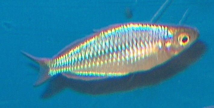 Neon Regnbue Fisk ( Få tilbage )
