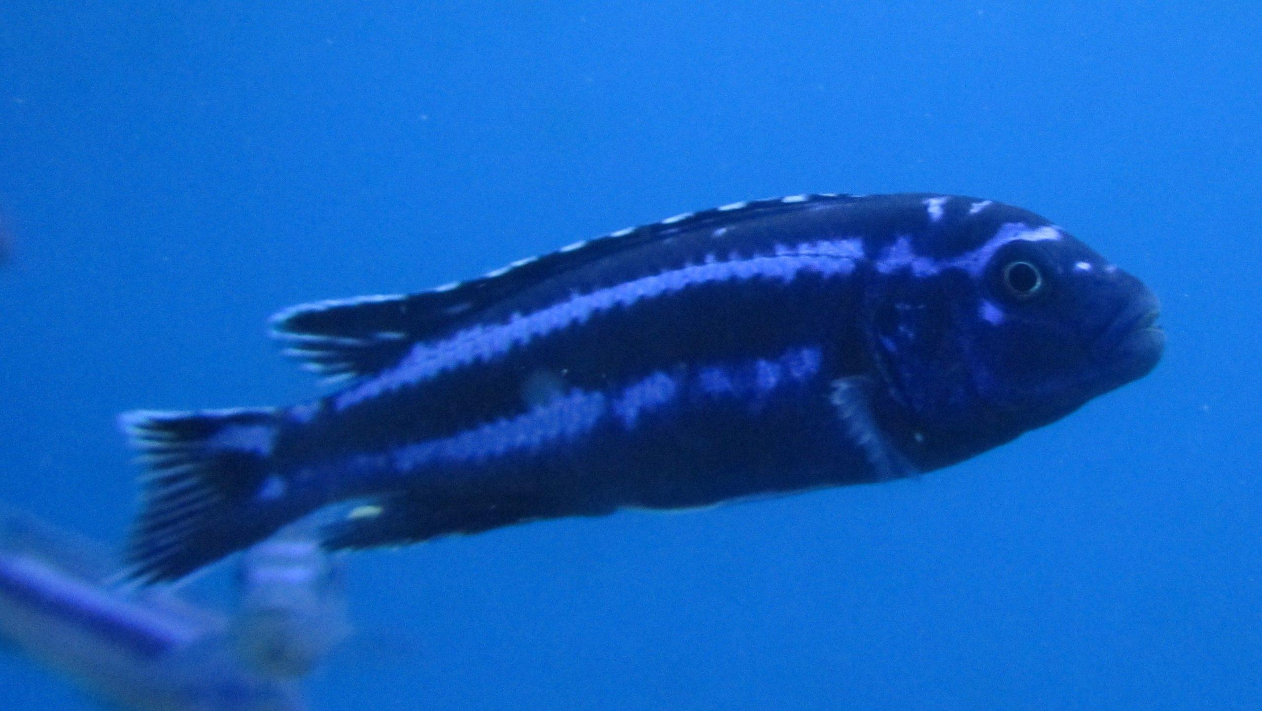 Melanochromis Cyanorhabdos