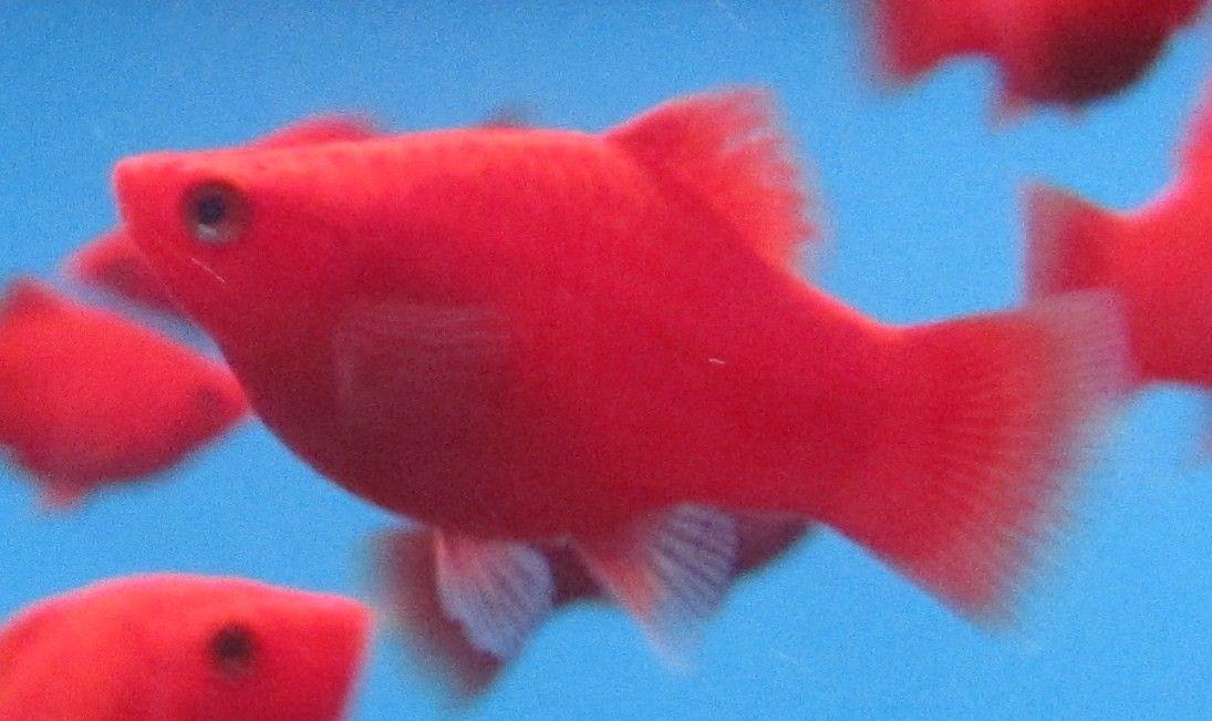 Dybrød coral Platy.