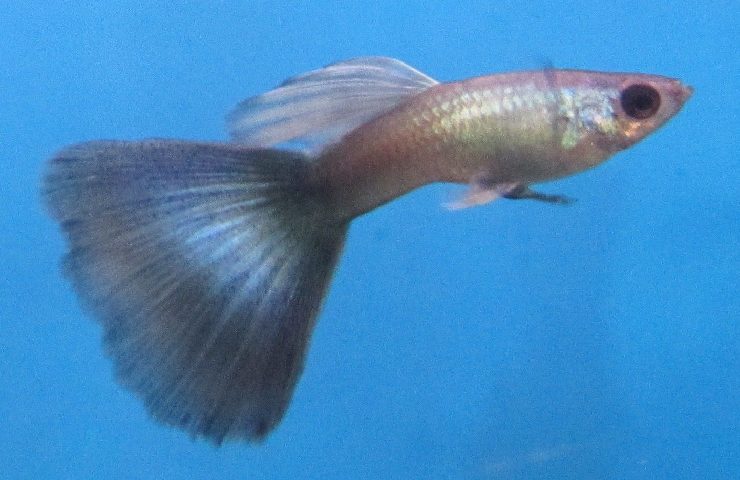 Blue Moscow Guppy Hanner