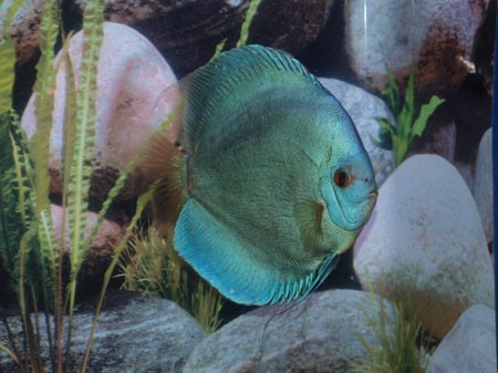 Blue Diamond Discus. 5 cm. Stendker