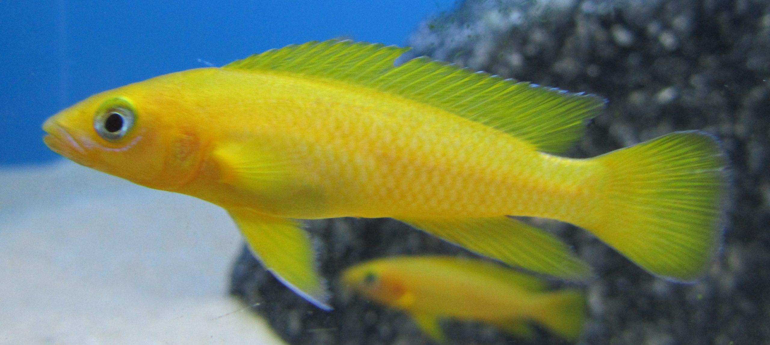 Neolamprologus Leleupi