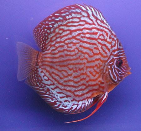 Rød Turkis Discus. 9 cm. ( 1 tilbage )