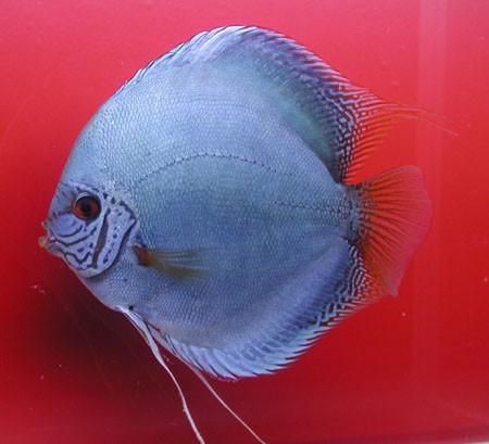 Kobolt blå Discus. 15 cm.