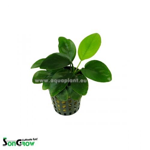 Plantepakke 12 Discus består af 5 varmetolerante planter. høj, medium, lav