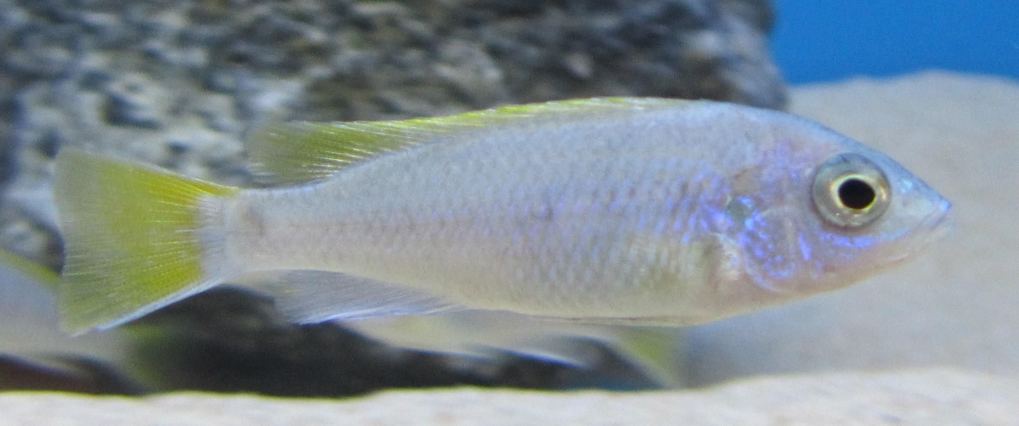 Pseudotropheus acei yellowtail