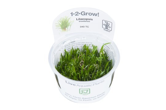 1-2 Grow Lilaeopsis brasiliensis
