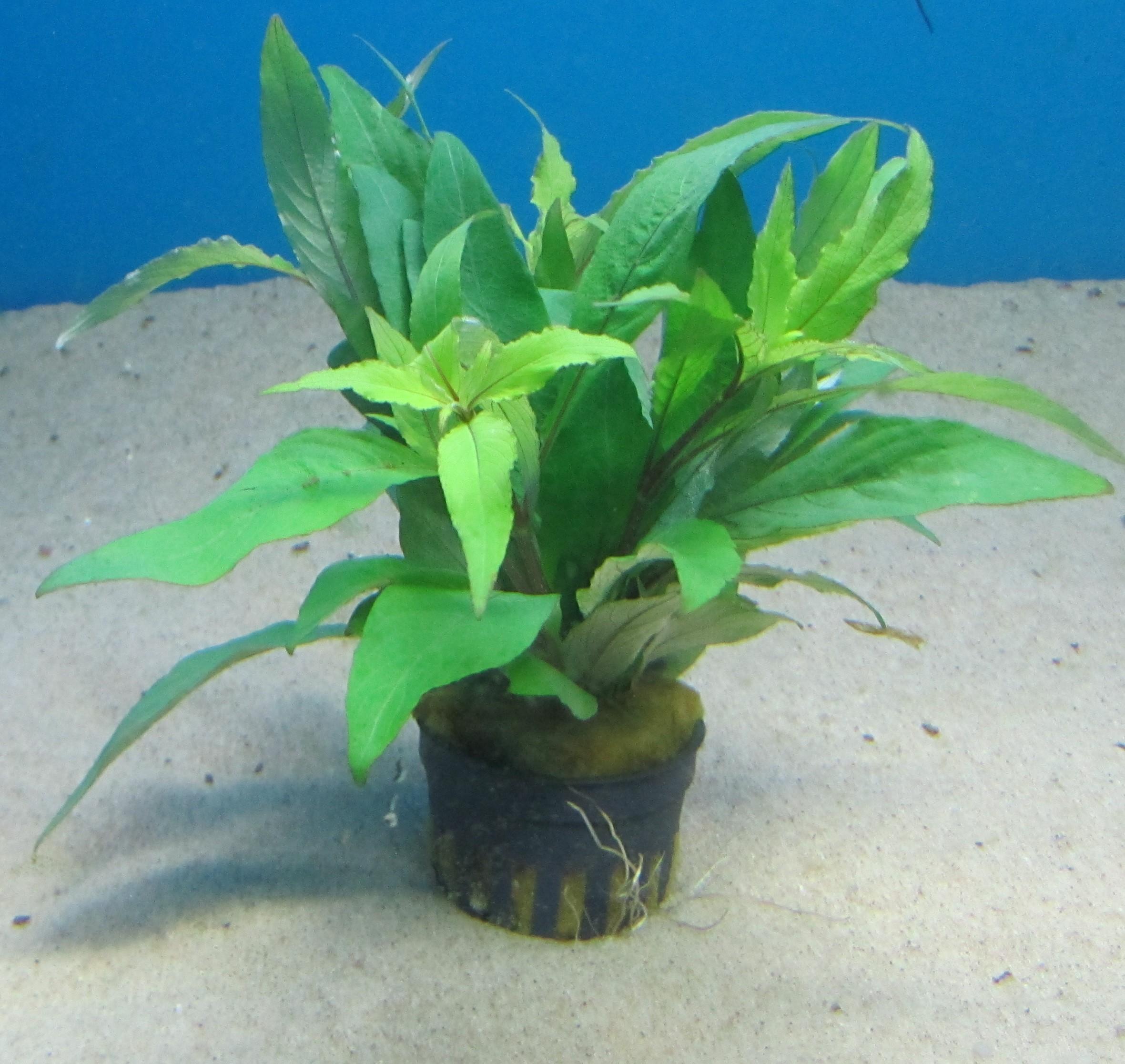 Hygrophila augustifolia / Normaphila augustifolia