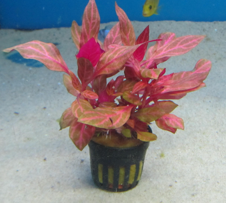 Alternanthera cardinalis rosernavig