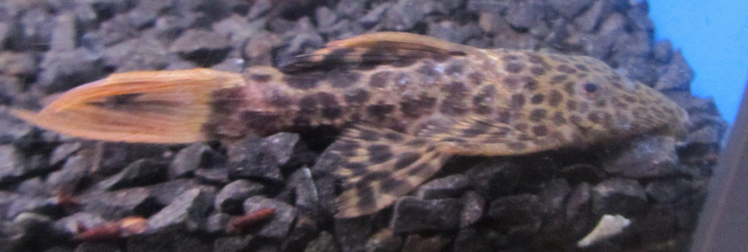 L - 114 Leopard kaktus Malle.