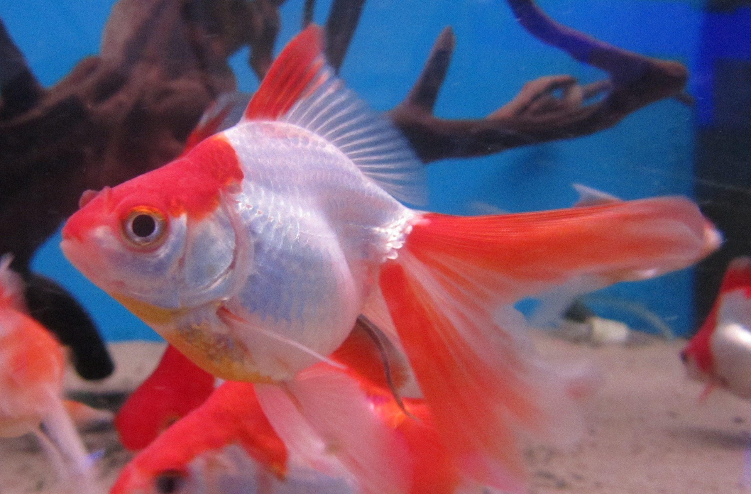 .Rød / Hvid Ryukin Slørhale 8 cm