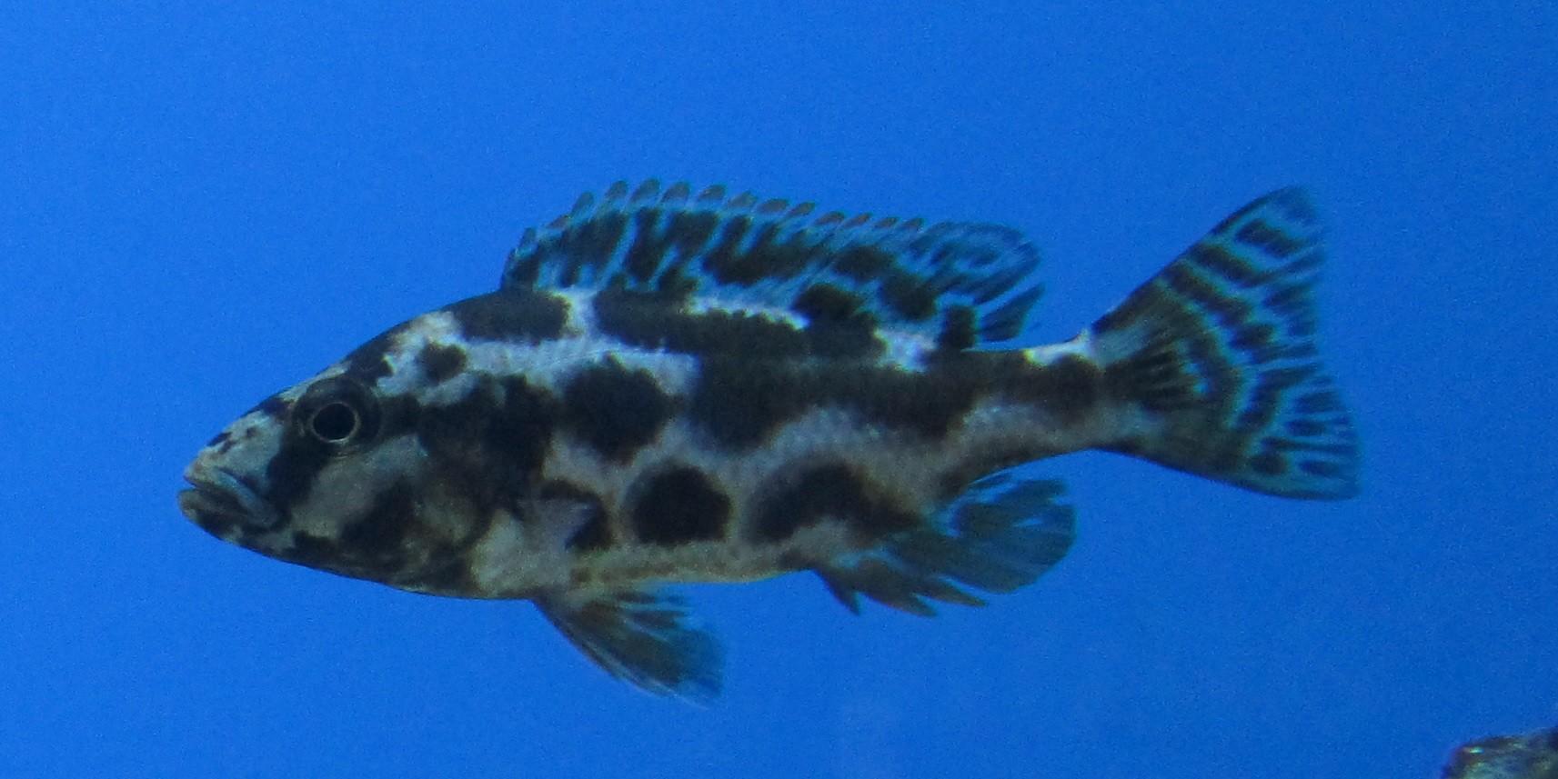 Nimbochromis livingstonii Cichlide