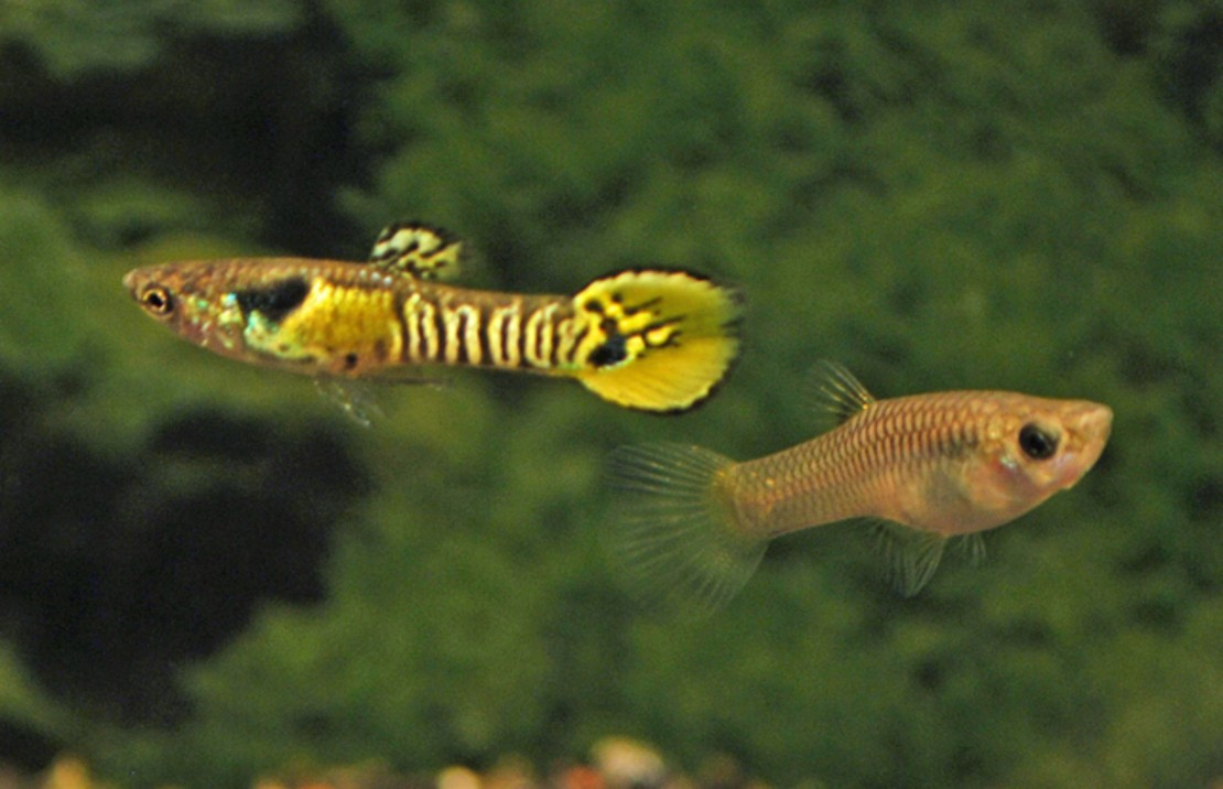 Tiger Endlers Guppy
